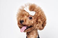 Retrato del estudio del perrito del caniche Imagen de archivo