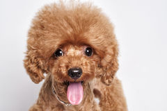 Retrato del estudio del perrito del caniche Fotografía de archivo