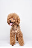 Retrato del estudio del perrito del caniche Foto de archivo libre de regalías