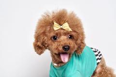 Retrato del estudio del perrito del caniche Fotos de archivo libres de regalías