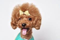 Retrato del estudio del perrito del caniche Fotos de archivo