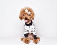 Retrato del estudio del perrito del caniche Imagenes de archivo