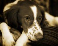Retrato del estudio del perro de aguas de saltador inglés Imágenes de archivo libres de regalías