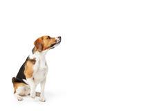 Retrato del estudio del perro del beagle contra el fondo blanco Imagen de archivo