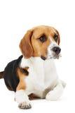 Retrato del estudio del perro del beagle que miente contra el fondo blanco Foto de archivo
