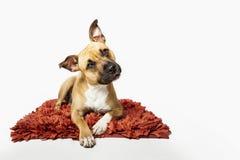 Retrato del estudio del perro del terrier de Stafford, aislado en el backg blanco Fotos de archivo libres de regalías