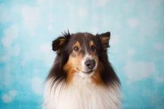 Retrato del estudio del perro pastor de Shetland en un fondo foto de archivo