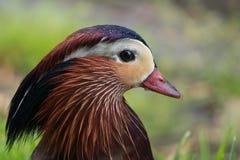 Retrato del galericulata del pato/del Aix de mandarín, gotitas de agua fotos de archivo libres de regalías