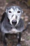 Retrato del galgo grey-haired rescatado viejo fotografía de archivo libre de regalías