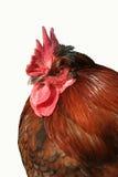 retrato del gallo Fotos de archivo