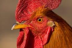 Retrato del gallo Imagen de archivo