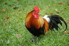 Retrato del gallo foto de archivo