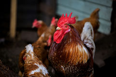 Retrato del gallo brillantemente coloreado formidable Gallo y gallinas libres de la gama en granja Concepto del eco del pueblo Fotografía de archivo