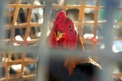 Retrato del gallo de lucha Foto de archivo