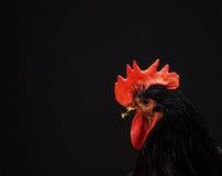Retrato del gallo majestuoso en un fondo negro Imágenes de archivo libres de regalías