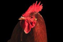 Retrato del gallo rojo aislado en negro Foto de archivo