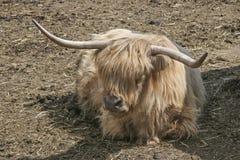 Retrato del ganado de una montaña del escocés Foto de archivo