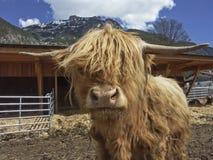 Retrato del ganado de una montaña del escocés Fotografía de archivo