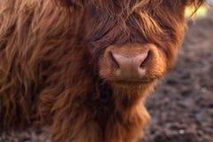 Retrato del ganado lindo de una montaña foto de archivo