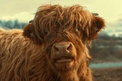 Retrato del ganado lindo de una montaña foto de archivo libre de regalías