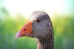 Retrato del ganso de Graylag Primer del jefe de un graylag hermoso con un pico anaranjado brillante sobre verde claro natural del fotos de archivo