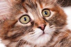 Retrato del gatito Fotografía de archivo
