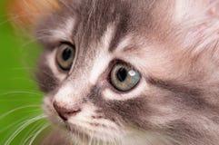Retrato del gatito Imagen de archivo libre de regalías
