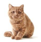 Retrato del gatito británico Foto de archivo libre de regalías