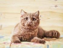 Retrato del gatito británico Fotos de archivo libres de regalías