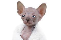 Retrato del gatito de Don Sphinx Foto de archivo