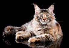 Retrato del gatito del Coon de Maine Foto de archivo