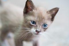 Retrato del gatito hermoso con los ojos azules Imágenes de archivo libres de regalías