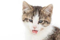 Retrato del gatito joven Foto de archivo libre de regalías