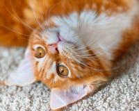 Retrato del gatito rojo de Maine Coon Fotografía de archivo