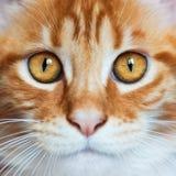 Retrato del gatito rojo de Maine Coon Fotos de archivo libres de regalías