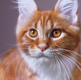 Retrato del gatito rojo de Maine Coon Fotografía de archivo libre de regalías