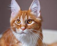Retrato del gatito rojo de Maine Coon Foto de archivo