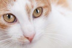 Retrato del gatito rojo joven Fotos de archivo libres de regalías