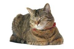 Retrato del gato Foto de archivo libre de regalías
