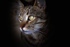Retrato del gato Fotos de archivo libres de regalías