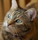 Retrato del gato Imagen de archivo libre de regalías