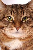 Retrato del gato Imagenes de archivo