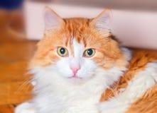 Retrato del gato adulto pelirrojo Imágenes de archivo libres de regalías