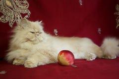 Retrato del gato adulto persa con un melocotón Imagenes de archivo