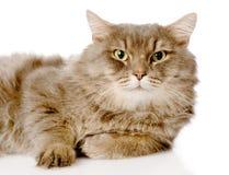 Retrato del gato adulto serio Aislado en el fondo blanco Fotografía de archivo libre de regalías