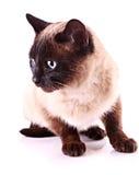 Retrato del gato aislado Fotografía de archivo libre de regalías