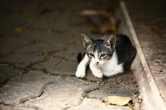 Retrato del gato blanco y negro Fotos de archivo libres de regalías
