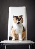 Retrato del gato británico Foto de archivo
