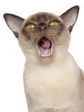 Retrato del gato Burmese Fotografía de archivo libre de regalías