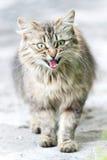 Retrato del gato con los ojos verdes Foto de archivo